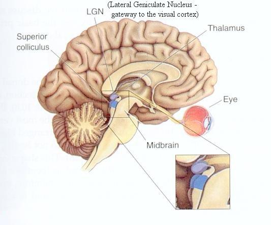 4 Bagian bagian Otak Manusia Beserta Fungsinya ...