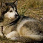 Alaskan Malamute.......