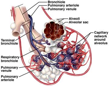Fungsi Alveolus Pada Paru Paru Manusia Dosenbiologi Com