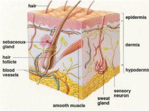 lapisan hipodermis
