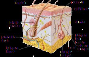Struktur Fungsi Kulit Manusia
