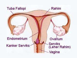 Proses reproduksi pada perempuan