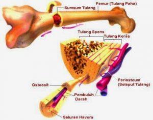 Tulang Keras (