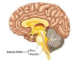 batang otak