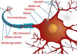 bagian bagian neuron