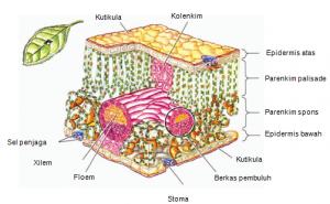 epidermis tumbuhan
