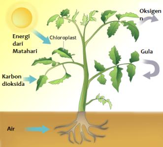 Proses Fotosintesis Pada Tumbuhan Beserta Gambarnya Dosenbiologi Com