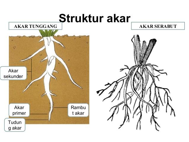 Jenis Jenis Akar Tumbuhan Dan Fungsinya Dosenbiologi Com