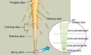 bagian akar
