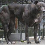 Anjing hercules
