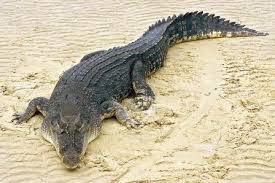 Buaya air asin (salt water crocodile)