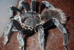Colombian Giant Black Tarantula