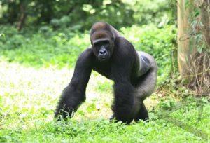 Gorila dataran rendah