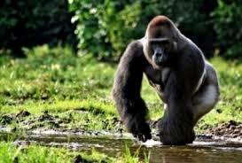 Gorila gunung