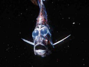 Hatchet fish, si ikan mimpi buruk