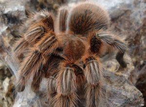 Hercules Baboon Spider