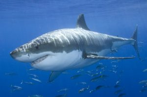 Hiu Putih (great white shark)