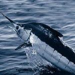 Ikan Atlantic Blue Marline