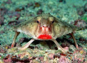 Ikan kelelawar, si bibir dower