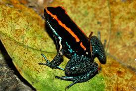 Kodok beracun (poison dart frog)