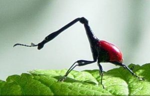 Kumbang jerapah, si leher panjang