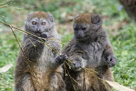 Lemur bambu besar