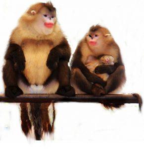 Monyet Yunnan, si hidung Pesek