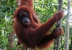 Orang utan Sumatra