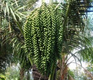 Pohon Enau