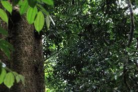 Pohon damar,,
