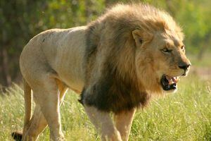 Singa Afrika (african lion)