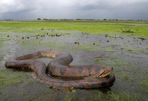 Ular anaconda abuna