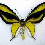 kupu-kupu sayap burung....
