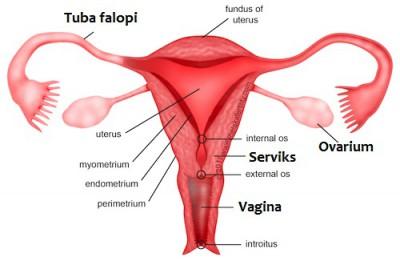 Image result for rahim dan organ reproduksi lain