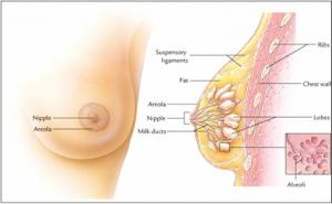 glandula mammae