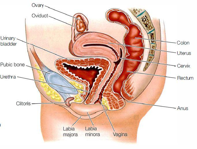 Alat Reproduksi Wanita Dan Fungsinya Dosenbiologi Com