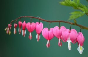 Bunga Bleeding Heart