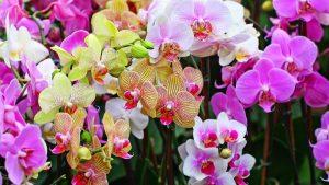 Bunga Dendrobium