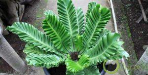 Phillodendrum Marbel Varigatha