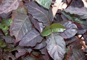 daun ungu