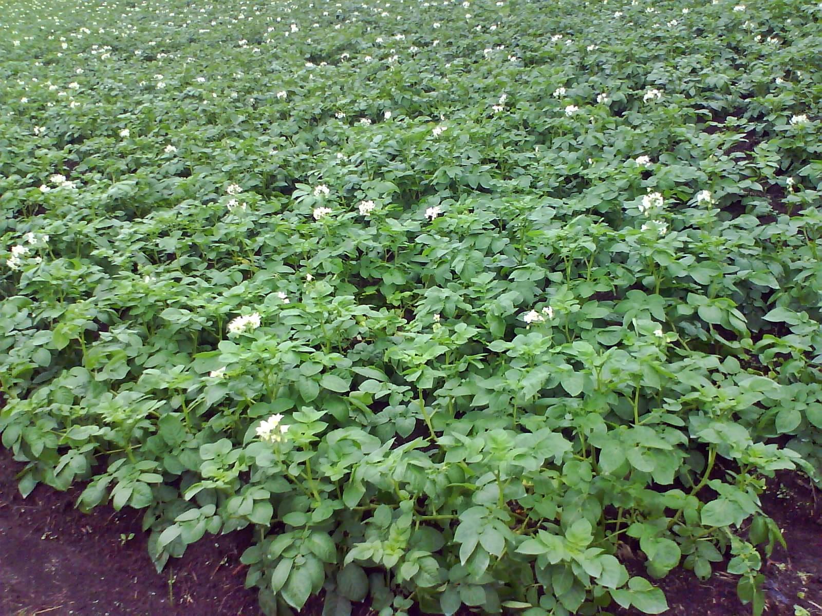 15 Tumbuhan Yang Menyimpan Cadangan Makanan Dosenbiologi Com