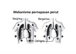 mekanisme pernapasan perut