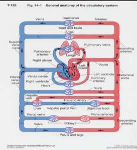 Jalur sirkulasi darah sistemik dan pulmonik