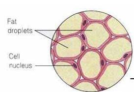 contoh jaringan lemak