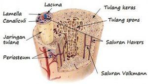 contoh jaringan tulang