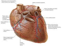 anatomi permukaan jantung