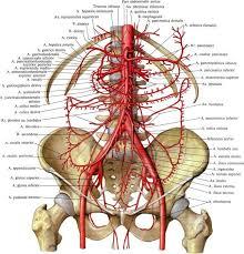 cabang-cabang aorta abdominalis