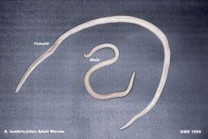 ascaris-male-female