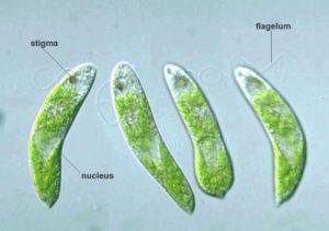 Euglena granulata