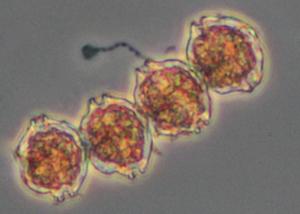 Gonyaulax catenella